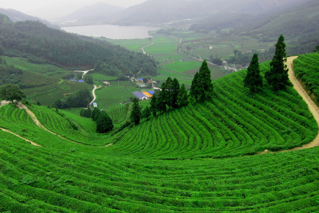 Boseung green tea field in Korea
