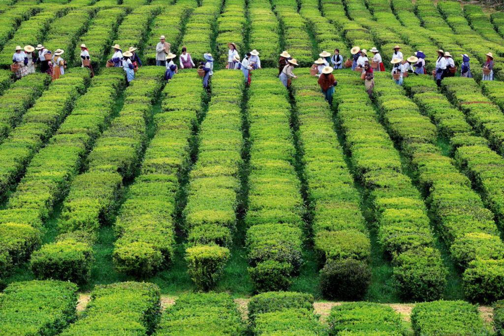 Tea workers in Gorreana's Tea plantations in Portugal