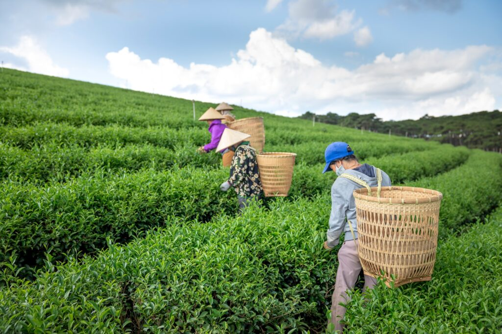 people harvesting tea