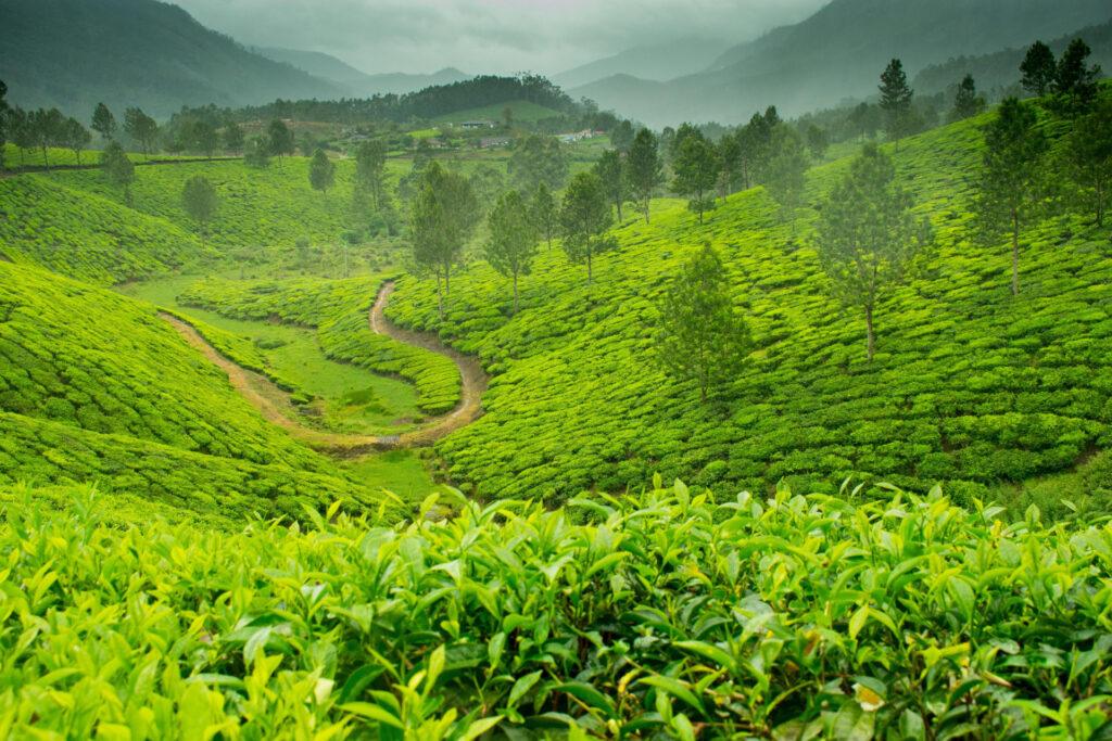Tea gardens in Munnar, Kerali, India