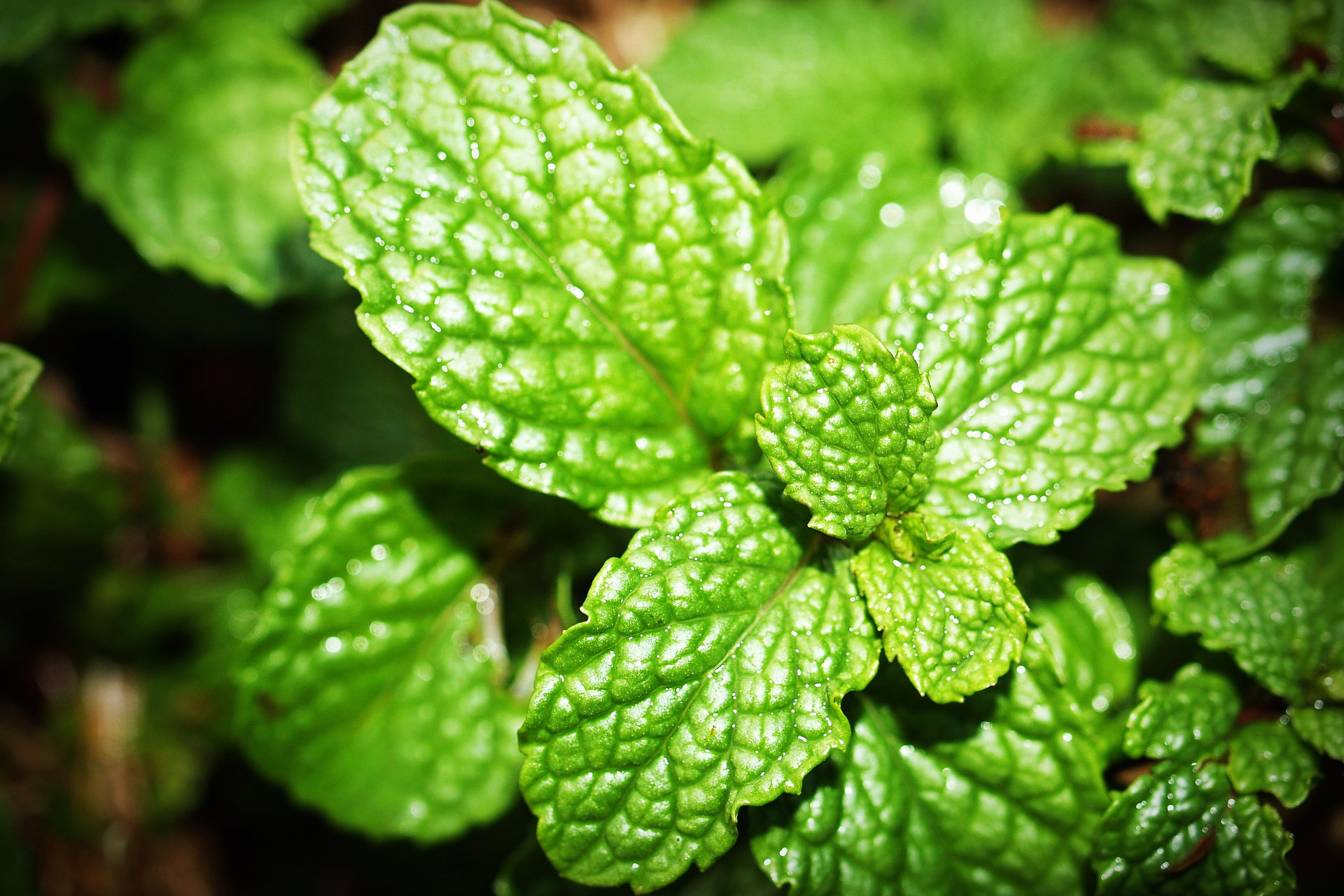 spearmint tea leaves