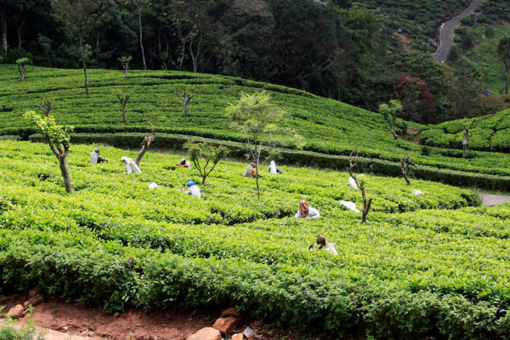 Tea pickers in Sri Lanka near Haputale.