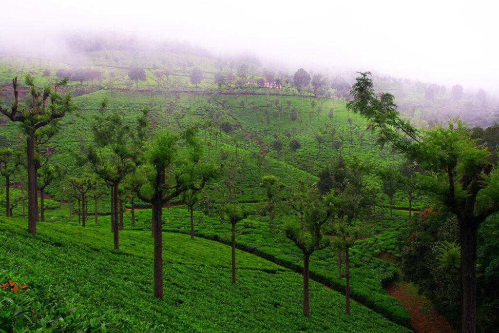 Tea estate Coonoor, India