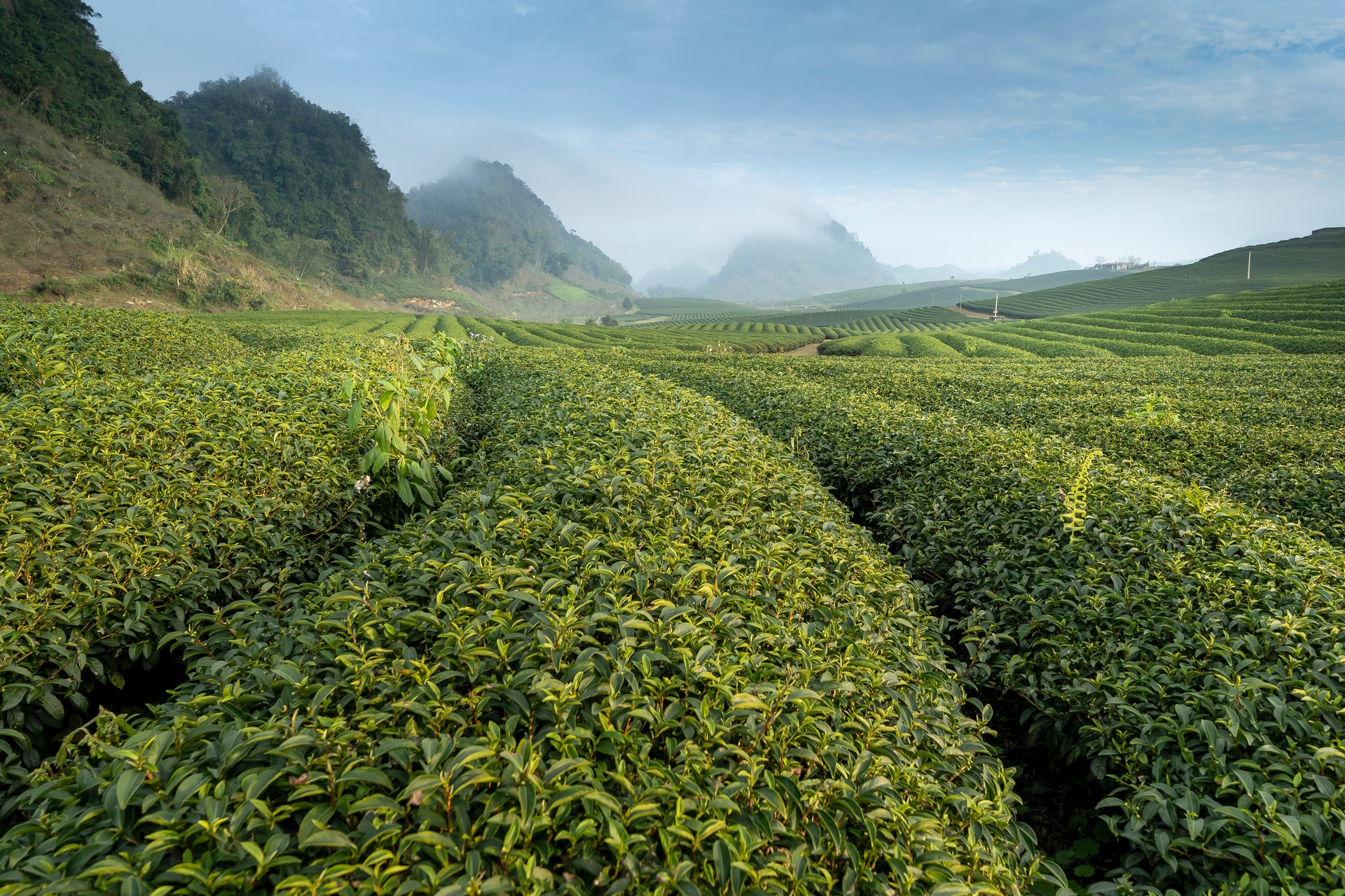 Field of tea