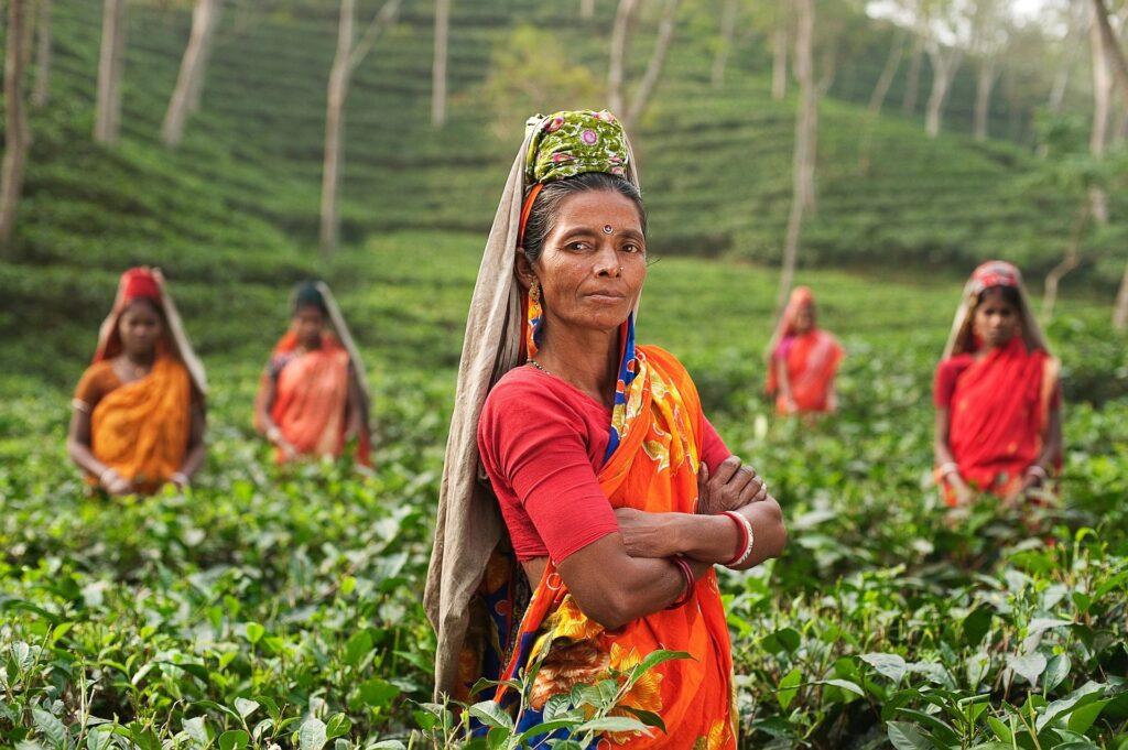 Tea harvesting in india by women