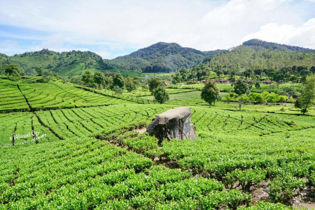 Tea plantation in Ciwidey, Bandung