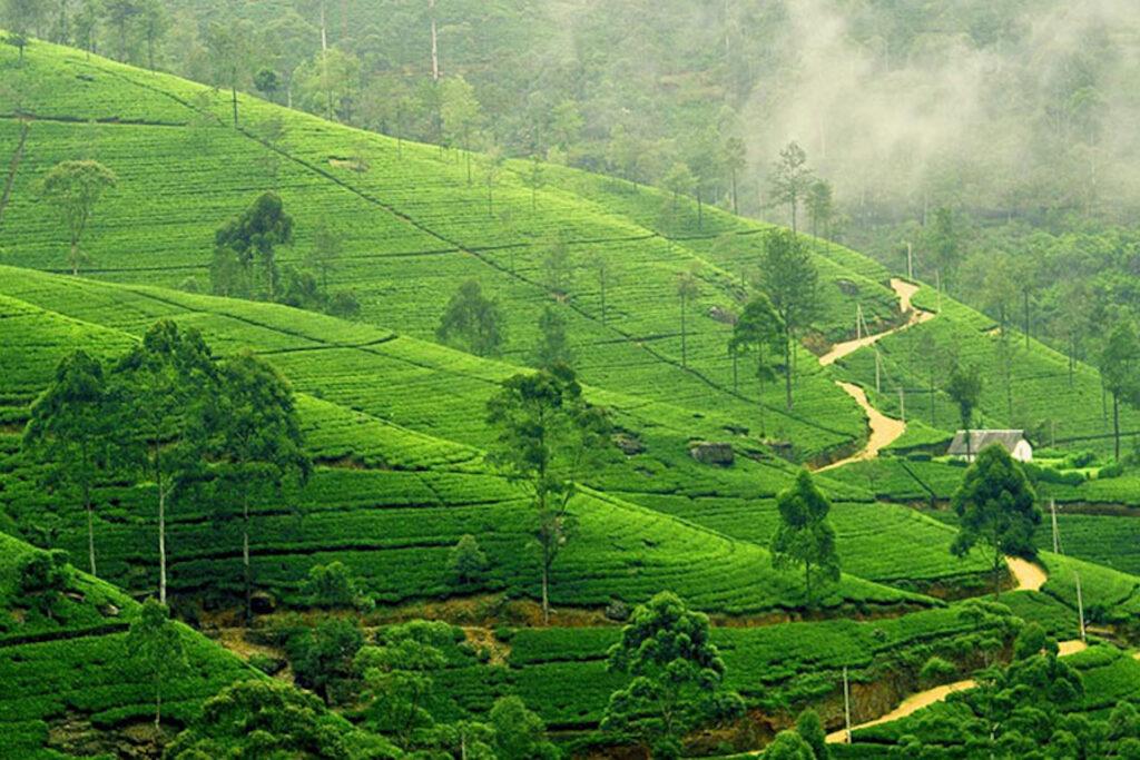Tea Plantation Nuwara Eliya in Sri Lanka.