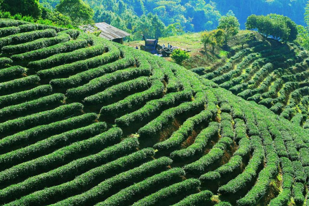 Tea plantation near Taipei