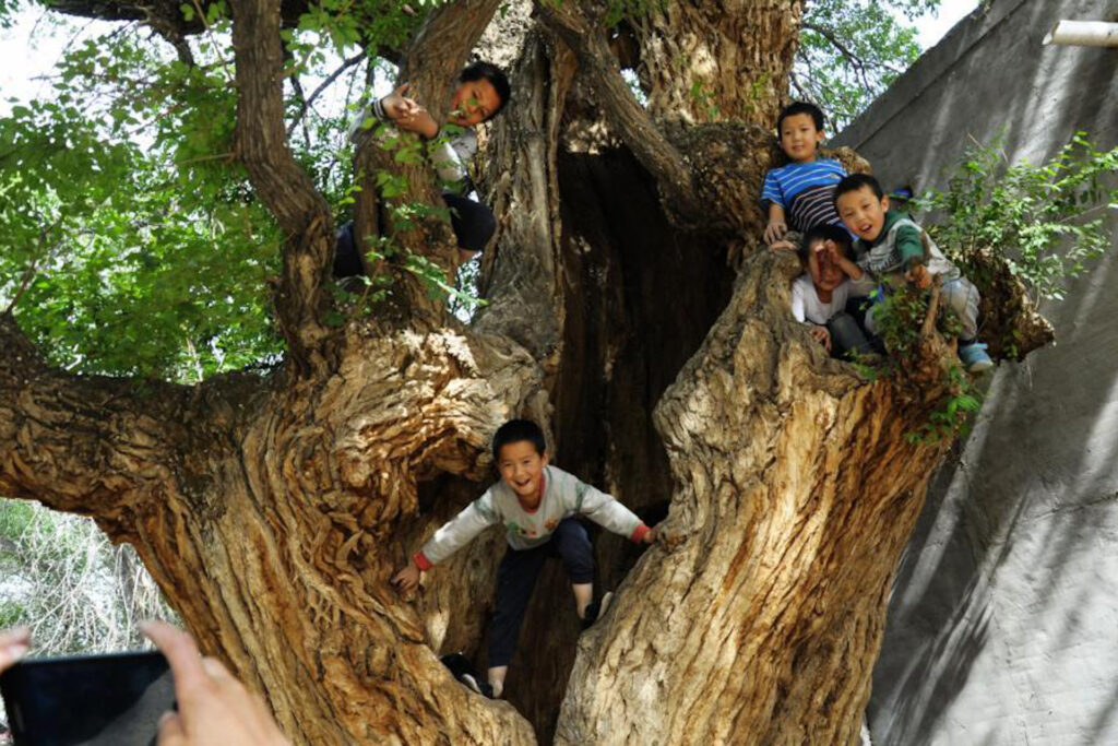 kids playing in 800 year old tree
