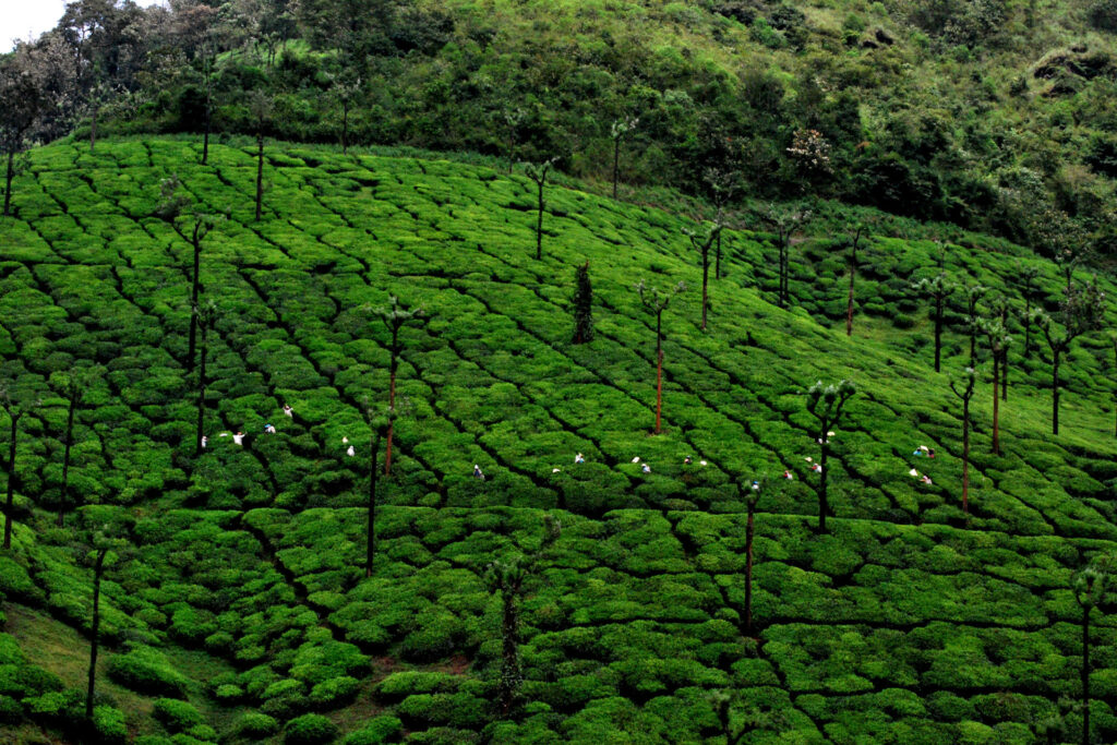 Tea workers on a plantation in Kerala, India.