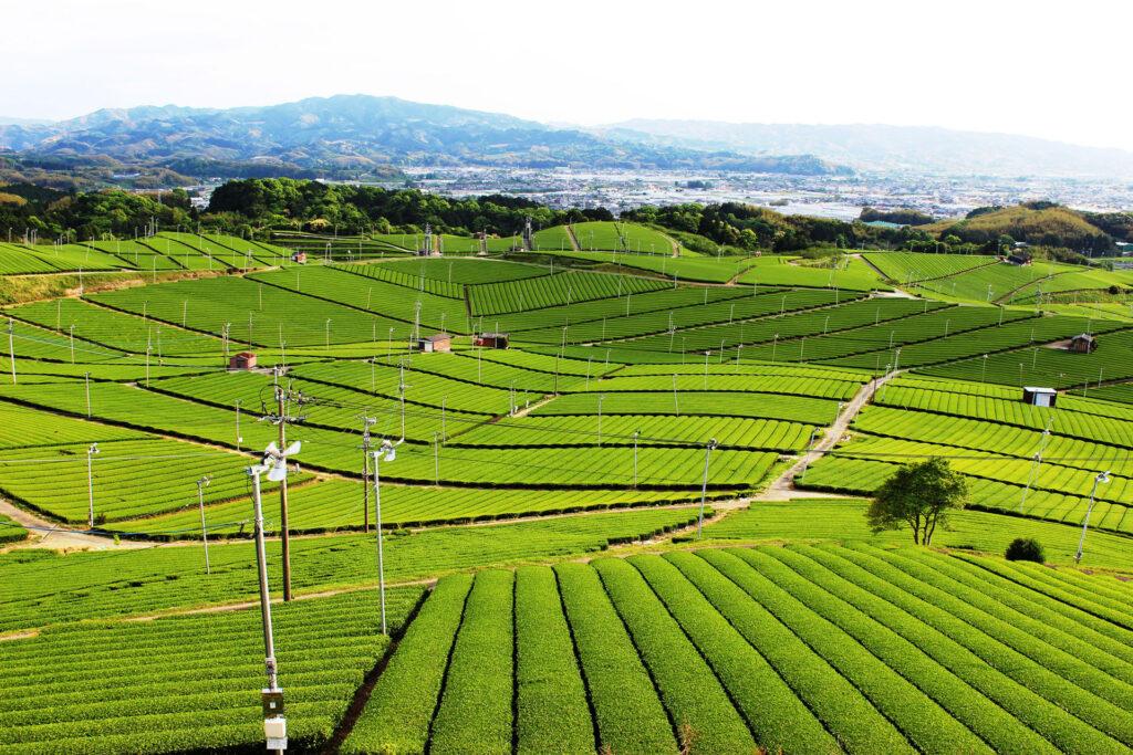 Yame tea garden in Japan.